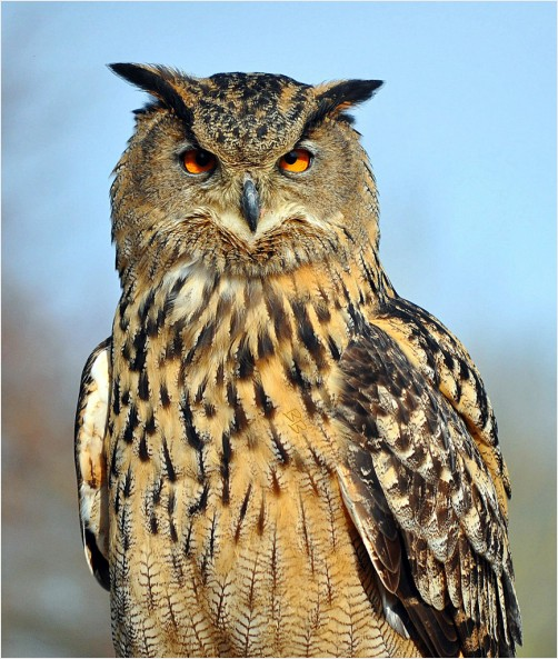 Eurasian Eagle Owl