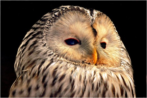 A Ural Owl Close Up