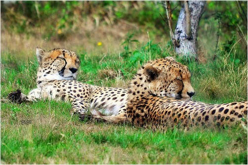 Chillin' Cheetahs