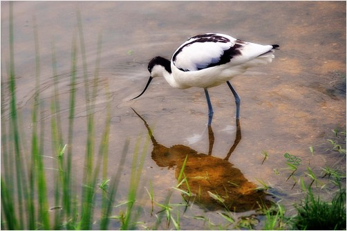Pied Avocet