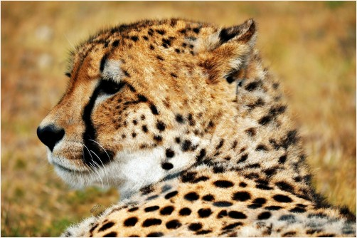 Cheetah ~ Up Close