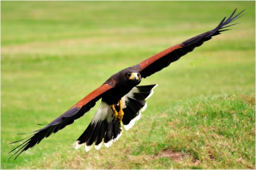 Harris Hawk Flying Low