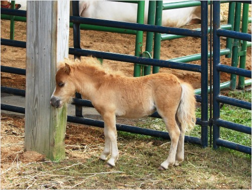 Miniature Horse pony