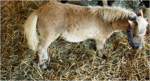 MINIATURE PONY FOAL (baby)