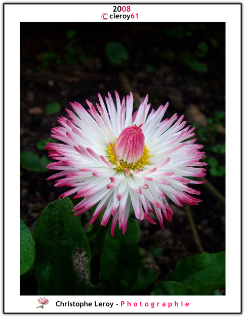 White and pink Daisy (Paquerette)