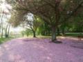 petals de fleurs de prunus
