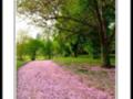 pluie de fleurs et pétals de prunus