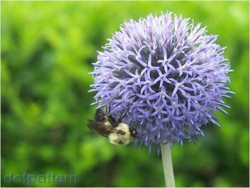 Giant flowering onion plant (Allium Giganteum)Allium