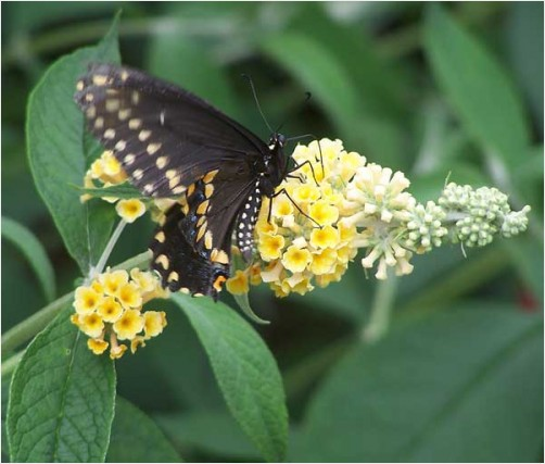 black swallowtail butterfly female papilio polyxenes Hudson Valley New York wildlife