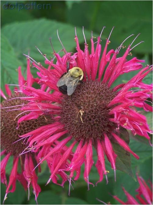 Beebalm flower and bees feeding at Snug Harbor Botanical Gardens