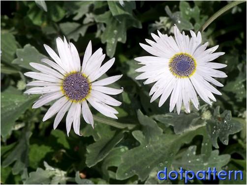 silver daisies at Snug Harbor Botanic Garden | © dotpattern