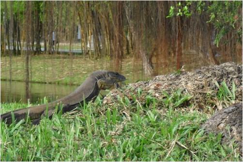 SG Chinese Garden Lizard | RedGage
