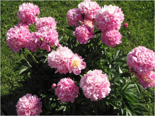 Peony bush in bloom