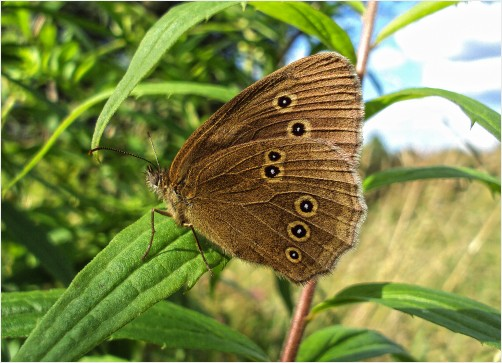 Brown Butterfly w/ Black Spots by maggotsic
