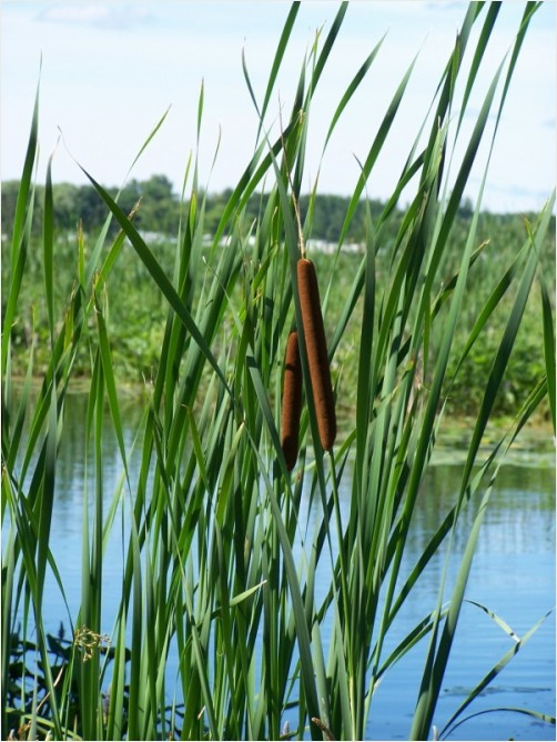 Cattail Couple