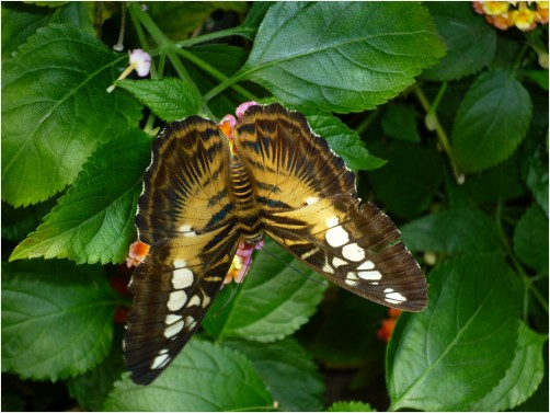 Beautiful and Rare butterfly by SqueeGeePwrWash