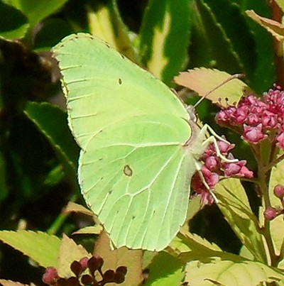 A green butterfly on a leaf